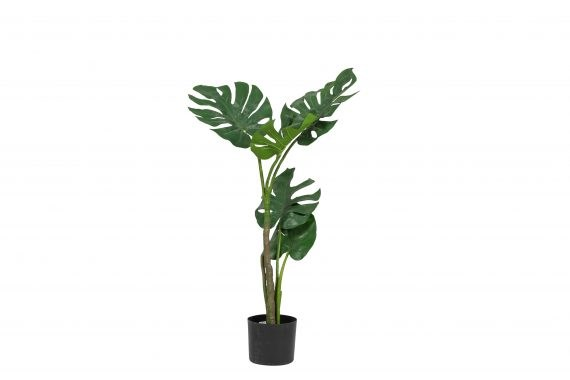 Plant – Monstera Medium