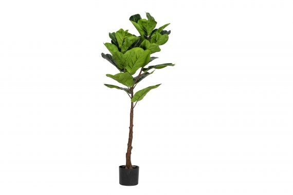 Plant – Fiddle Leaf Fig Small